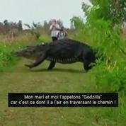 Floride : l'alligator qui se baladait à Lakeland