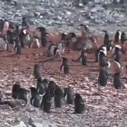 Les pingouins disparaissent de la banquise