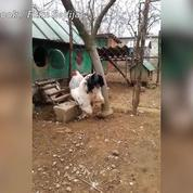énorme retour coq