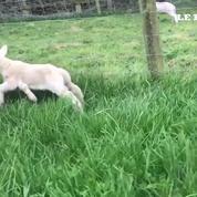 Un mouton à 5 pattes est né dans une ferme anglaise