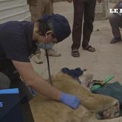 Un ours et un lion sont sauvés du zoo de Mossoul