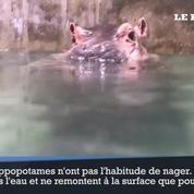 Fiona l'hippopotame du zoo de Cincinnati apprend à nager