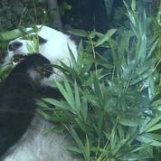 Les deux plus vieux pandas du monde sont à Mexico