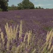 La lavande, emblème de la Provence, durement touchée par la sécheresse