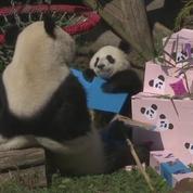 Deux pandas fêtent leur premier anniversaire en Autriche