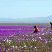Chili: le désert le plus aride du monde est en fleurs