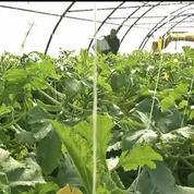Agriculture : des courgettes soignées par la musique