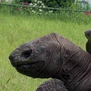Jonathan la tortue, 185 ans, sans doute le plus vieil animal terrestre vivant