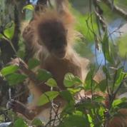 Une nouvelle espèce de grands singes a été découverte