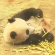 Une loterie pour découvrir un bébé panda en avant-première à Tokyo