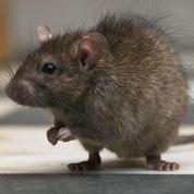 Prolifération des rats à Paris, le témoignage édifiant d'un éboueur