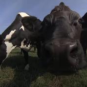 La «vache à roulettes», solution des éleveurs laitiers pour lutter contre la crise