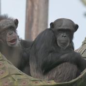 ZeeZee le chimpanzé accueille un nouveau bébé!