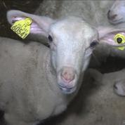 Maltraitance animale aux abattoirs de Mauléon : début du procès à Pau