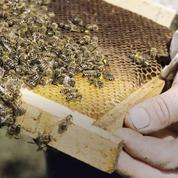 Abeilles : 30 % des ruches détruites durant l'hiver dernier