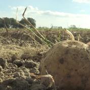 Les frites, victimes de la sécheresse estivale en France