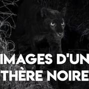 Kenya : des chercheurs repèrent un léopard noir rare