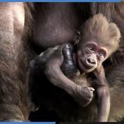Naissance d'un bébé gorille dans le zoo de Saint-Martin-la-Plaine