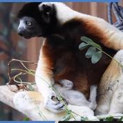Naissance exceptionnelle d'un bébé lémurien au zoo de Mulhouse