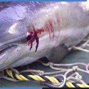 Près de 1100 dauphins retrouvés sur la côte Atlantique depuis janvier 2019