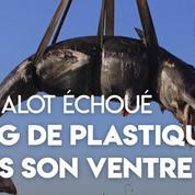 Un cachalot retrouvé mort avec 22 kilos de plastique dans l'estomac