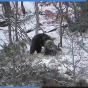 Les très rares images de deux jeunes ours s'amusant dans les Pyrénées catalanes