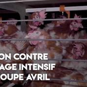 L214 dénonce l'élevage intensif de poules pondeuses du groupe Avril