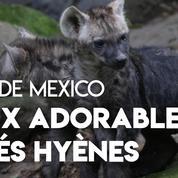 Deux adorables bébés hyènes sont nés au zoo de Mexico