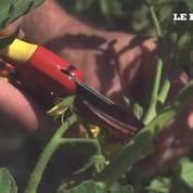 Taillez vos plants de tomates pendant l'été