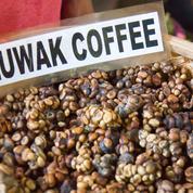 Quel est le secret du Kopi Luwak, café le plus cher au monde?