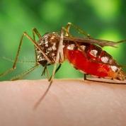 Une piqûre de moustique filmée sous la peau