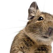 Des souvenirs effacés puis ranimés chez le rat