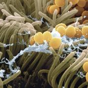 Un tueur de bactéries caché dans votre nez