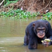 Médicaments : faut-il se fier aux chimpanzés ?