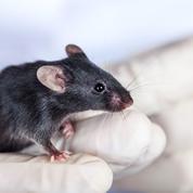 Comment revitaliser des cellules souches «fatiguées»?