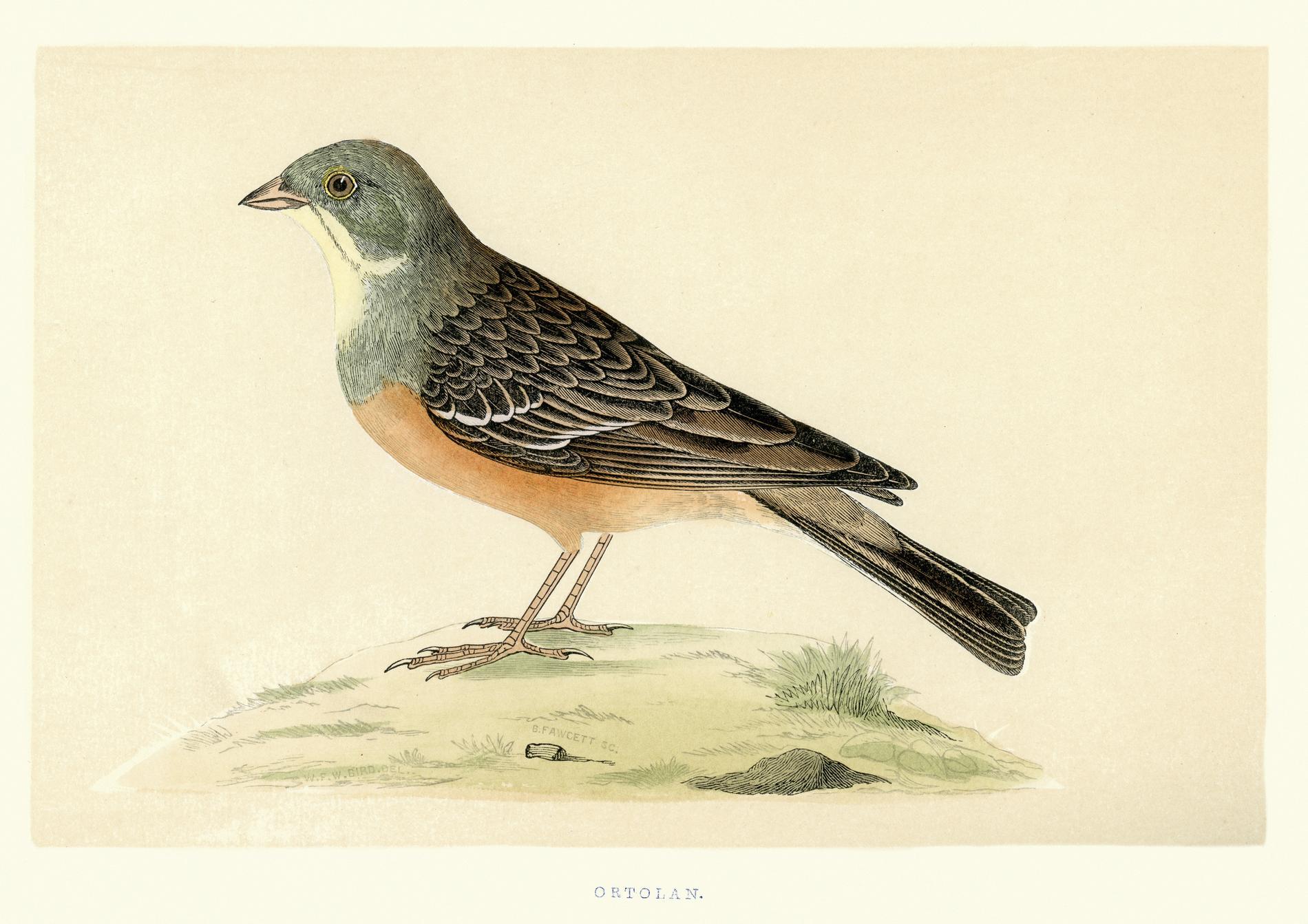 l'ortolan oiseau