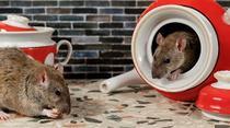 Rat : 20 citations sur ce petit rongeur