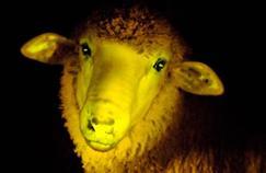 Un mouton phosphorescent au service de la médecine