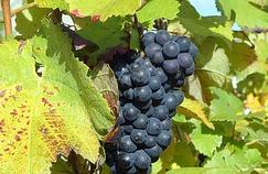 Les effets antiobésité d'une molécule dérivée du vin