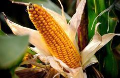 Le bétail européen va continuer à manger des OGM