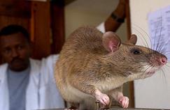 Des rats géants dressés pour détecter la tuberculose