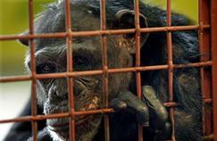 Les chimpanzés américains ne serviront plus de cobayes