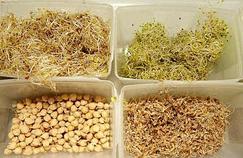 E.coli : les graines germées égyptiennes interdites