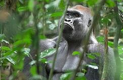Paludisme: les gorilles ont contaminé les humains
