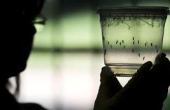 Le virus Zika s'installe en Martinique et en Guyane