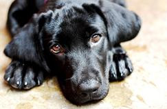 Un gène de la gloutonnerie découvert chez les labradors