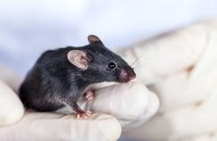 Des souris modifiées pour lutter contre le virus Zika