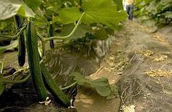 En Europe, l'épidémie liée aux concombres s'étend