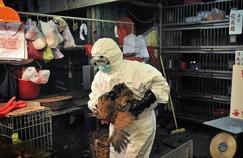 Grippe aviaire : quel danger pour l'homme ?