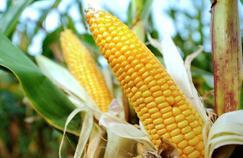 L'UE publie ses résultats sur le maïs OGM controversé